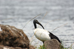 Sacred ibis near a pond Royalty Free Stock Images