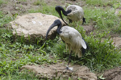 Sacred ibis pair Stock Photo