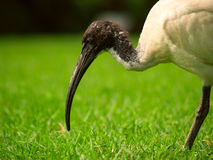 A Sacred Ibis in a park Stock Images