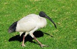 Sacred Ibis, Sydney, Australia Royalty Free Stock Images