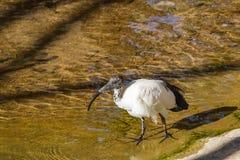 Sacred ibis Stock Photos