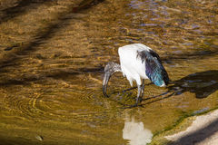 Sacred ibis Stock Photography