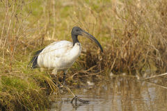 Sacred ibis, Threskiornis aethiopicus Latham Royalty Free Stock Photos