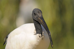 Sacred ibis, Threskiornis aethiopicus Latham Royalty Free Stock Image