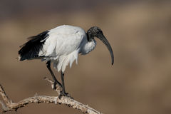Sacred ibis, Threskiornis aethiopicus Royalty Free Stock Photo