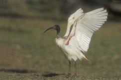 Sacred ibis, Threskiornis aethiopicus Stock Images
