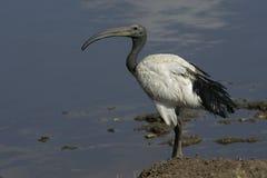 Sacred ibis, Threskiornis aethiopicus Stock Photos