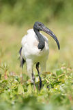 Sacred ibis walking among plants in marsh Royalty Free Stock Image