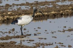 Sacred ibis Royalty Free Stock Images