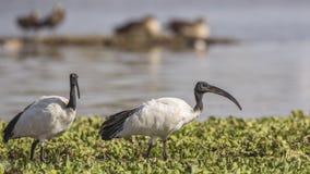 Sacred ibises Wading Among Weed. Two Sacred ibises, Threskiornis aethiopicus, are wading among weeds in Lake Ziway, Ethiopia, Africa stock photos