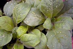 Sacred jasmine aztec tobacco after rain Royalty Free Stock Photo