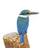 Sacred Kingfisher Stock Images