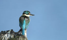 Sacred Kingfisher with copy space Stock Photos