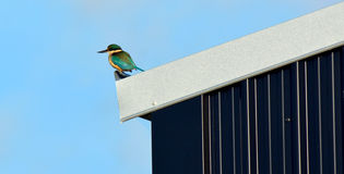 Sacred kingfisher sit on a farm barn roof Stock Image