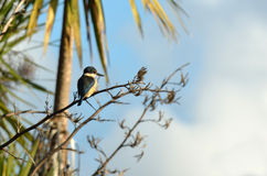 Sacred kingfisher sit on a flax plant Royalty Free Stock Photography