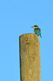 Sacred kingfisher sit on a wooden pole Stock Photography