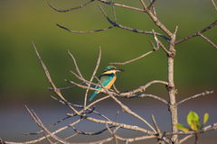 Sacred Kingfisher. (Todiramphus sanctus) in Bali Island , Indonesia Stock Image