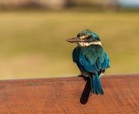Sacred Kingfisher. (Todiramphus sanctus norfolkiensis) on fence in Kingston on Norfolk Island Stock Photography