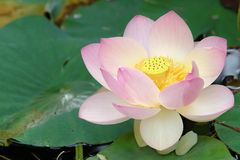 Sacred lotus flower (close up) stock photo