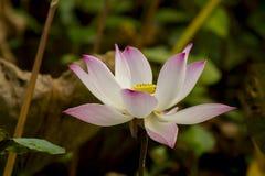 Sacred lotus flower Royalty Free Stock Images