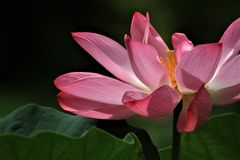 The sacred lotus Royalty Free Stock Photography
