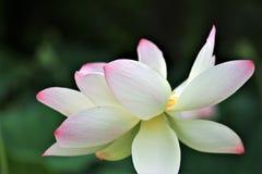 The sacred lotus stock photography