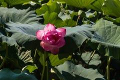 Sacred lotus flower head Royalty Free Stock Photo