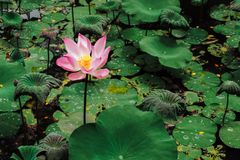 Sacred Lotus flower in lake. Nelumbo Nucifera. Sacred Lotus flower. Nelumbo Nucifera Stock Photos
