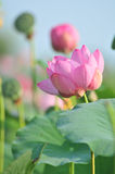 Sacred lotus flower living fossil (close up) Stock Photo