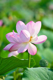 Sacred lotus flower living fossil (close up) Royalty Free Stock Photo