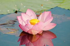 Sacred lotus flower living fossil (close up) Stock Image