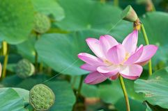 Sacred lotus flower living fossil (close up) Royalty Free Stock Image