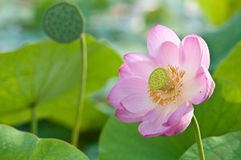 Sacred lotus flower living fossil close up Royalty Free Stock Photo