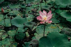 Sacred Lotus flower in lake. Nelumbo Nucifera. Sacred Lotus flower. Nelumbo Nucifera Royalty Free Stock Images