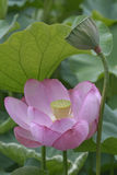 Sacred lotus flower and seedhead Royalty Free Stock Photography