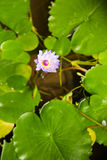 Sacred Lotus Stock Photography