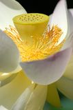 Sacred Lotus flowers Royalty Free Stock Photos