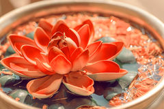 Sacred lotus growing in bowl. Beautiful leaves floating on water surface. Botabic name is Nelumbo nucifera flower. Stock Photography
