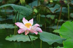 Sacred lotus Royalty Free Stock Photo