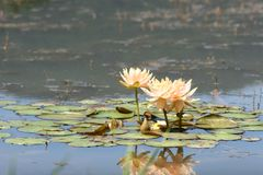 Sacred lotus in lake stock images