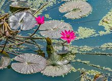 Sacred Lotus in Laos royalty free stock photography