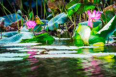 Sacred lotus with large pink flowers at Corroboree Billabong, NT, Australia Stock Photos