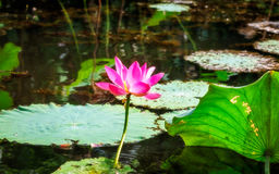 Sacred lotus with large pink flowers in the wetlands in Northern Territory, Australia Royalty Free Stock Photos