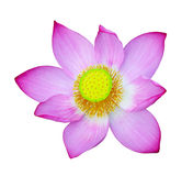 Sacred Lotus Royalty Free Stock Images