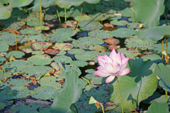 Sacred lotus in the pond Stock Image
