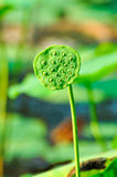 Sacred lotus seedpod Stock Images