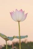 Sacred lotus Royalty Free Stock Photography