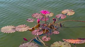 A Sacred Lotus waterlily in bloom on a pond in Laos royalty free stock image