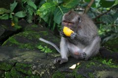 Sacred Monkey Forest feast royalty free stock photos