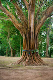 Sacred, Ordained Tree in Southeast Asia Royalty Free Stock Photos